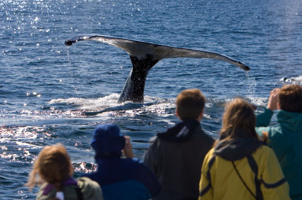Cape Cod Whale Watching in Provincetown Mass